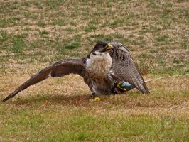 Falcon With It's Catch by wolfwings1