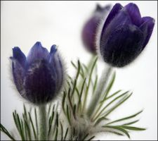 A rare flower by venigesheva