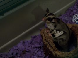 Sugar Glider by Rescue-Is-Possible