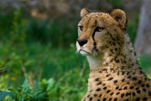 cheetah III by werram