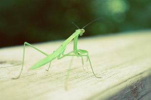 Like a Non-Praying Mantis by hear3there