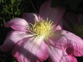 Clematis Closeup 3 by groundhog22