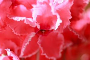 Cyclamen III by larksgar