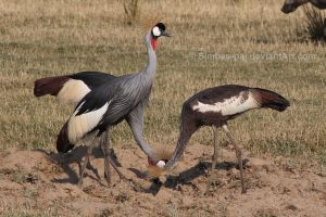 Grey Crowned Cranes by Simbas-pal