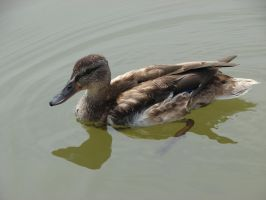 Quacky the duck pic3 by Mate397