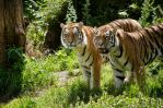 Tigers by Electrokopf