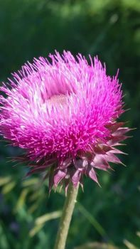 Thistle Flower by LadyFenrirUnchained