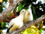 Pair of Pied imperial pigeons by Mike-Kossi