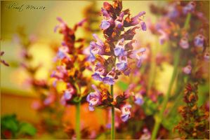 Salvia 2 by ShlomitMessica