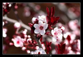 Spring Blossoms by Astraea-photography