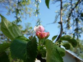 apple_flower_small by firefreezeall