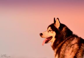 Siberian Husky in Cold Sunset by WinonaPhotographie