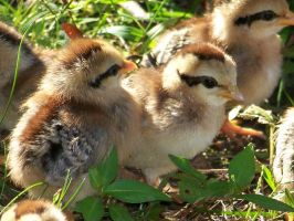 Baby chicks by parrots4life