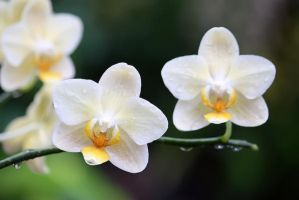 Orchid 35 by josgoh