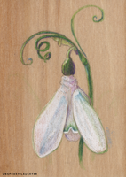 Spring Snowdrop Colored Pencil ACEO by unSpookyLaughter
