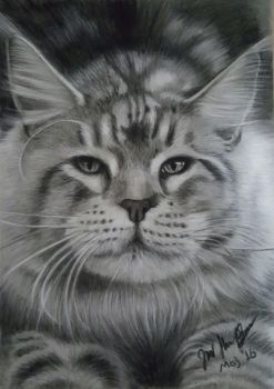 Maine Coon Male by Sassis
