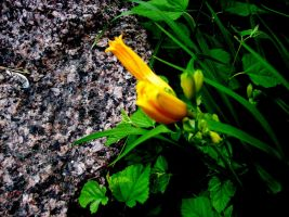 Yellow Flower in Hiding by RobinEvaFayEmbry