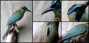 Blue-crowned Motmot Mount by CabinetCuriosities