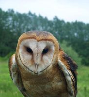 Male Barn Owl 5 by Malakhite