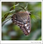 Butterfly Moth by substar