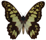 E-S Butterfly IX by Elevit-Stock