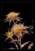 Spiky plant by Gil-Levy