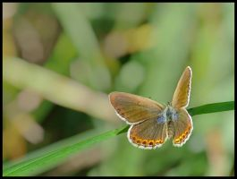 Gossamer-wing butterfly by Pildik