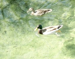 ducks by ribcage-menagerie