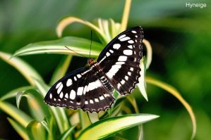 Papillon sur Arabesques by hyneige