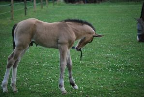 Foal Stock 12 by equinestudios