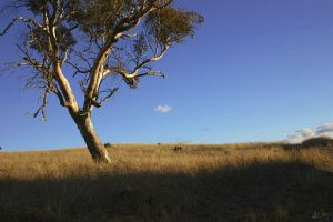 Lone Tree, Oxley Hill by der-morgen