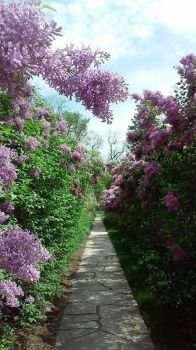 Lilacs by capturedpoetry