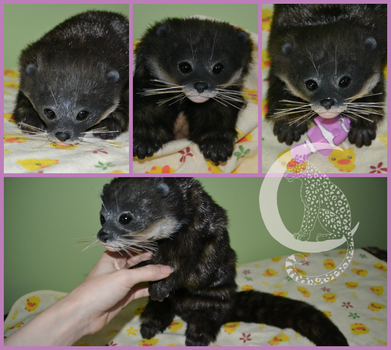Baby Otter by Moon-Leopard-Designs