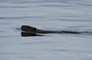 Another Otter Shot by queegqueg