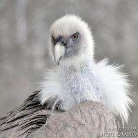 Old World Vulture 01 2010 by cinnabarr