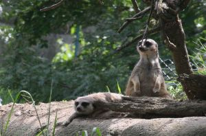 Meerkats by SwiftFlyer