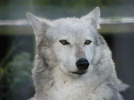 Wolf Portrait Stock 24 by Clickitysnip-Stock
