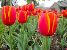 Early Blooming Tulips by element321