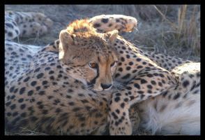 Cheetah brothers by C-Puff