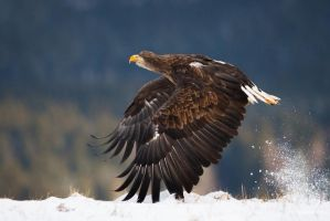 Sea eagle taking off by AlesGola