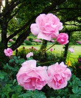 Flower 30 - Pink Rose by Loulou13
