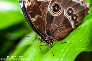 Butterfly by cupplesey