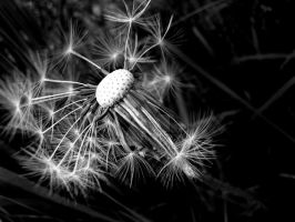 Dandelion Clock 1 by ks-photo