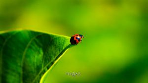 Lady Bug by YadavThyagaraj