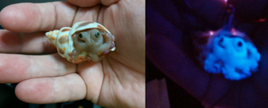 Polymer Clay Octopus hiding in a shell charm by ShadyDarkGirl