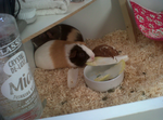 My guinea pigs by Emayhra