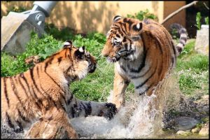 Tiger splash by AF--Photography
