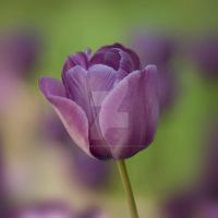 lilac purple tulip flower by photographybypixie