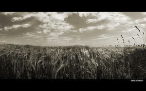 fields of wheat by canaris1780