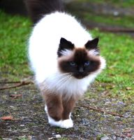 Birman Cat Stock 3 by jojo22